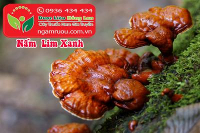 Mua bán sỉ & lẻ Nấm Lim Xanh rừng khô ngâm rượu, công dụng và tác dụng chữa bệnh Nấm Lim Xanh rừng, Địa chỉ bán, Giá bán, Mua ở đâu?